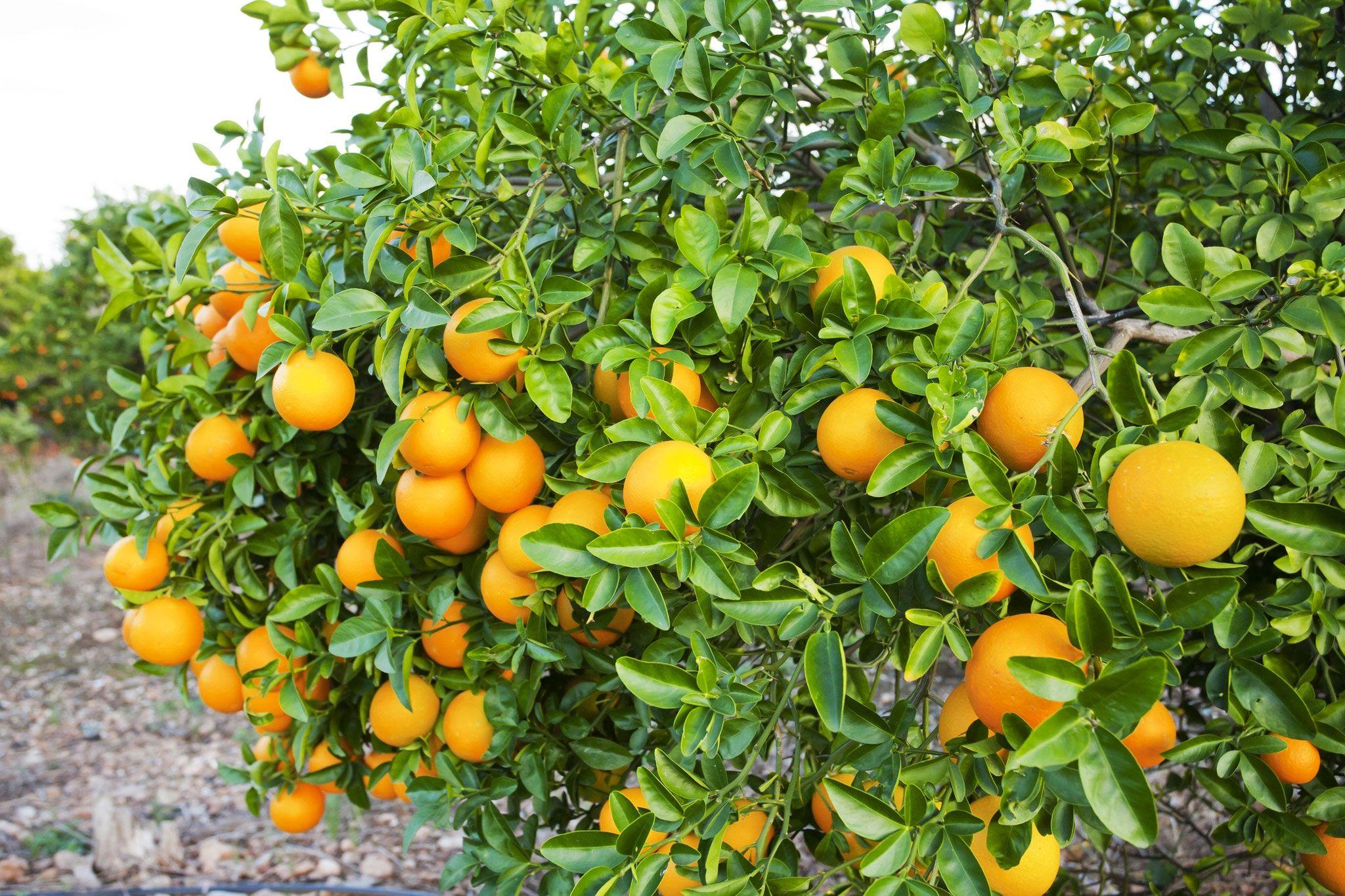 میوه های خانواده مرکبات در آنتالیا